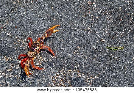 Red Crab Crossing The Street
