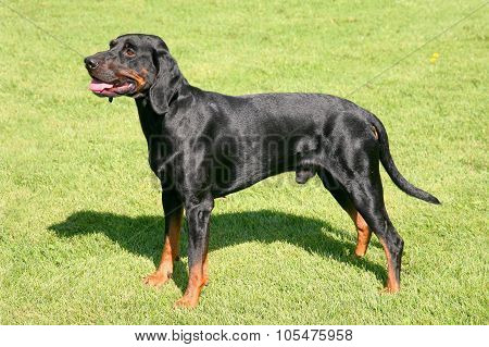 Black Polish Hunting Dog