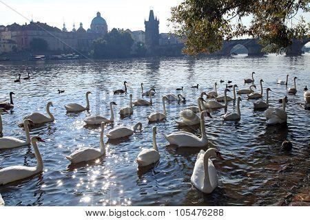 White Swans On Vltava River, Prague.