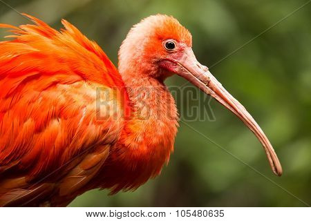 Portrait Of Scarlet Ibis