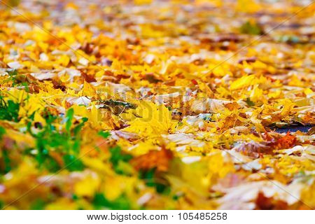 Maple Leaf On Green Grass, Autumn Background