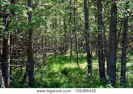 White Cedar Trees