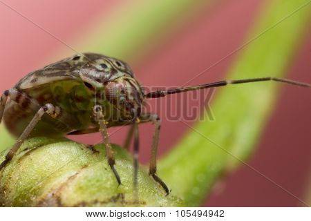 Tarnished Plant Bug On Green Flower Stem