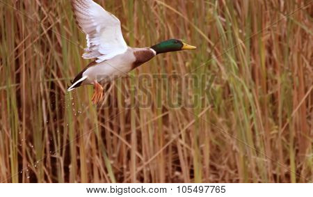 Rise Of A Wild Duck With Surfaces River