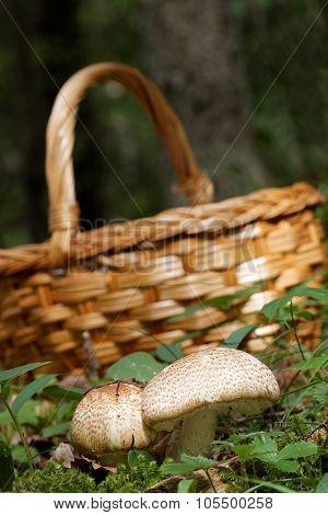Mushroom Basket And Agaricus Augustus Mushroom And Moss