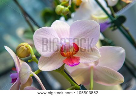 Close up of white orchid flower stem in full blossom