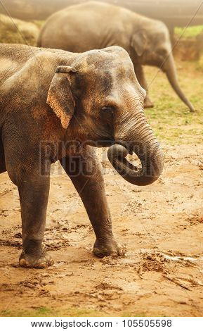 Elephant animal walking by dirty sand. Illustration