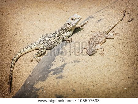 Central Bearded Dragon And Steppe Agama