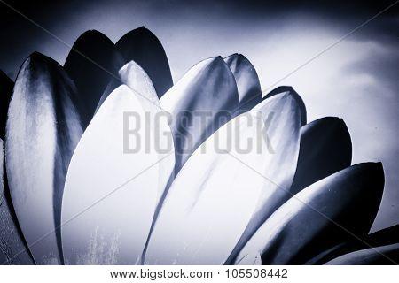 Monochrome Chrysanthemum Petals
