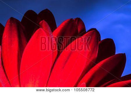 Bright Red Chrysanthemum Flower Petals