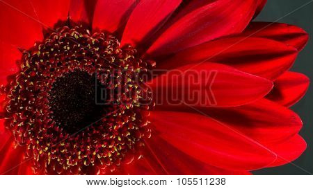 Close-up Of A Bright Red Chrysanthemum Blossom And Black Background