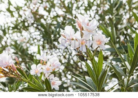 blurred background flowering branches of white oleander