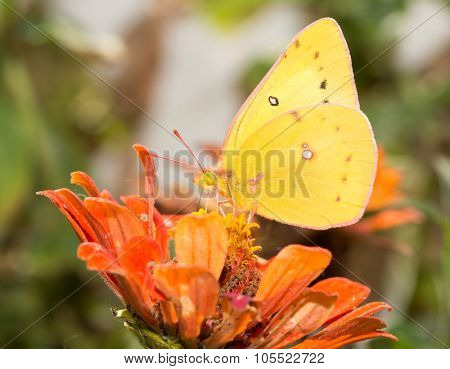 Beautiful Orange Sulphur butterfly feeding on an orange Zinnia