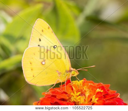 Closeup of an Orange Sulphur butterfly feeding in fall garden