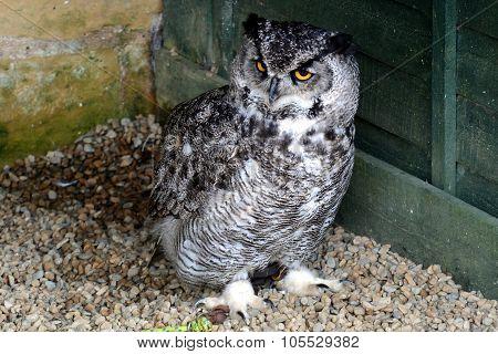 Makinders Owl