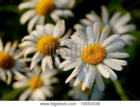 Camomile In Early Dew