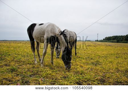 Horses grazing on a rural pasture near the forest. Livestock animals feed on farm yard