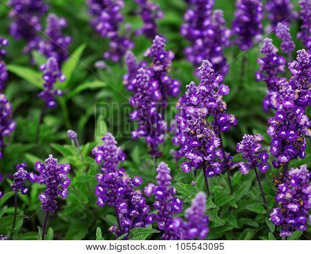 Field Of Bright Blue Lavander Flowers