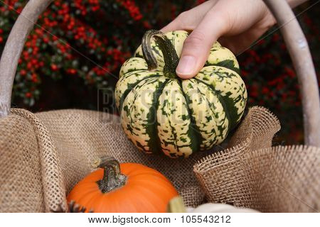Young Woman Adds Harlequin Pumpkin To A Basket