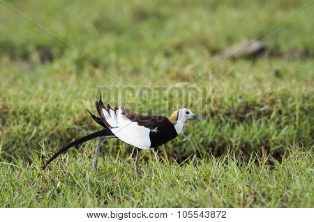 Pheasant-tailed Jacana In Bundala National Park, Sri Lanka