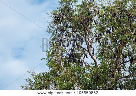 Lyle's Flying Fox Hanging On A Tree Branch
