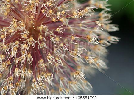 The Bright Round Alium Flower Macro Shot