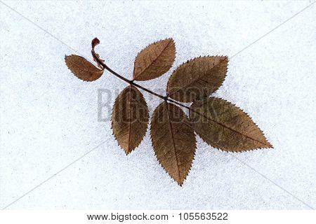 Leaf Wild Roses