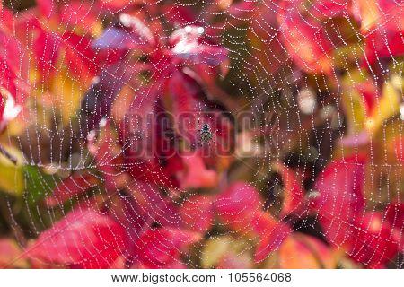 Wet Spider On Autumnal Background