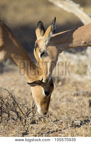 Impala Doe Nibble The Ear Of Her Mother Strengthen Family Bond