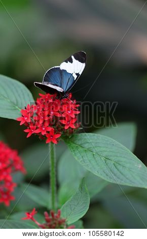 The Blue Black With White Stripe Butterfly Sitting On Red Flower Macro Shot