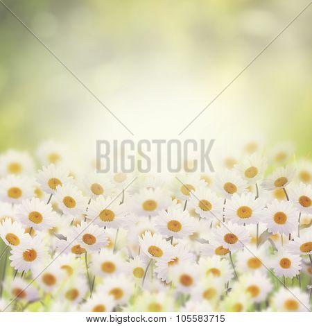 White Daisies in The Flower Garden