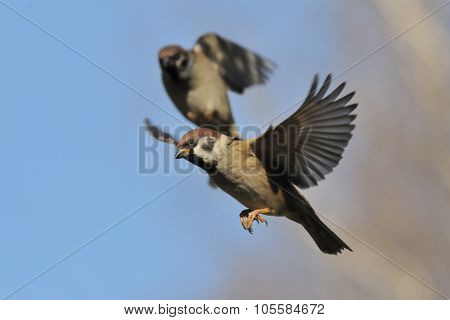 Two Flying Tree Sparrows Against Bright Blue Sky Background