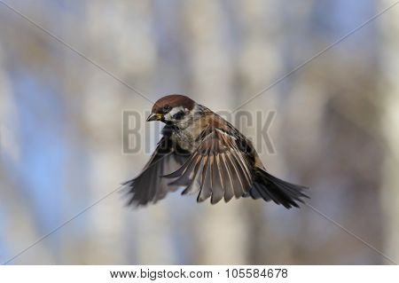 Flying Tree Sparrow Against Birch Trees Background