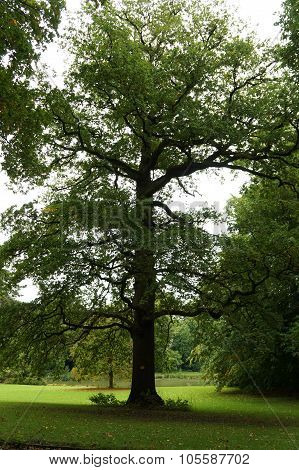 Tall oak in the park