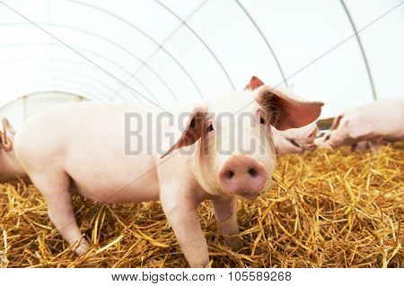 One piglet on hay and straw at pig breeding farm