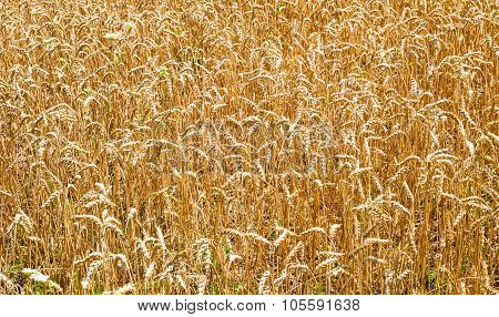 Wheat Field Stalks And Seeds Background