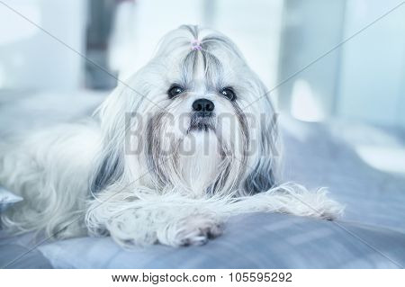 Shih tzu dog lying on bed. Bright white colors.