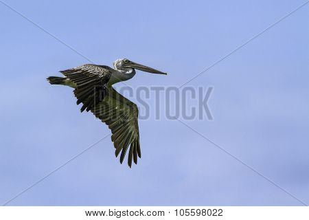 Spot-billed Pelican Flying Isolated In Blue Sky, Sri Lanka