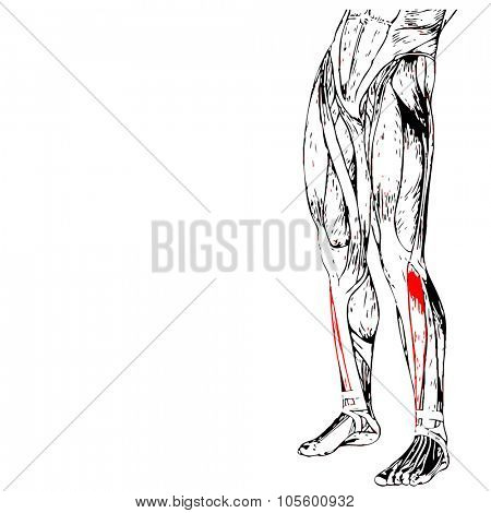 Concept or conceptual 3D adductor longus human lower leg anatomy or anatomical and muscle isolated on white background
