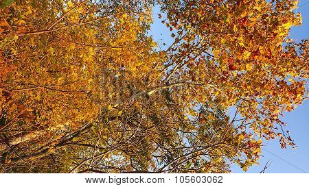 Orange Sycamore Tree Foliage. Looking up to the Sky.