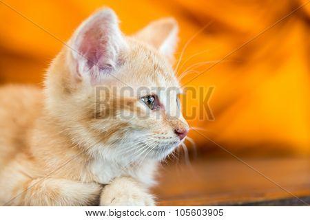 Doubtful Oragne Little Kitten  Cat Lie On Wooden Floor Closeup
