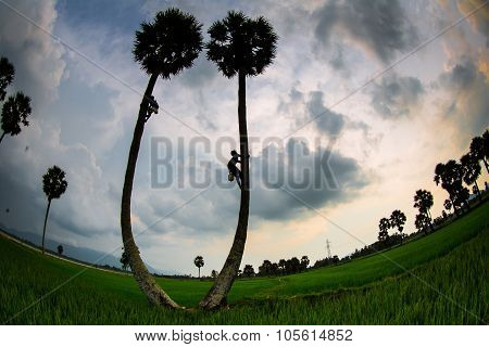 People is climbing palmyra trees in Angiang, Vietnam