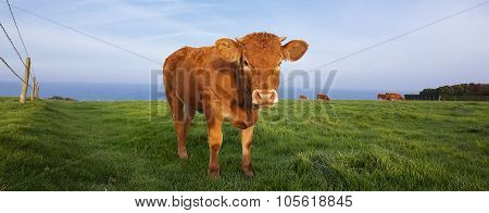Panoramic View Of Brown Cow
