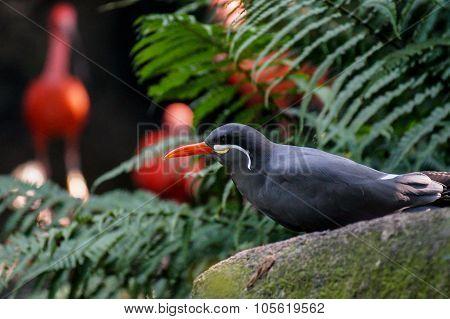 Inca Tern Bird