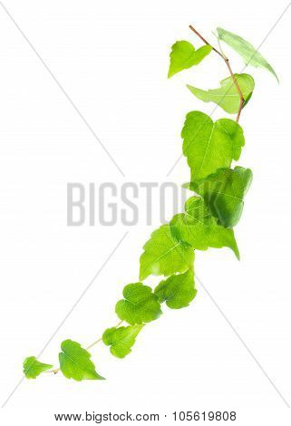 Beautiful Green Twig Of Ivy Is Isolated On White Background, Closeup