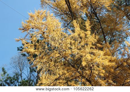 Branch Of A Larch .
