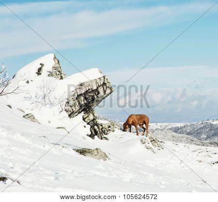 Vizsla Dog In The Snowy Winter Landscape