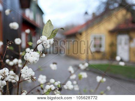 Snowberry Bush Groing On The Sweden City Street