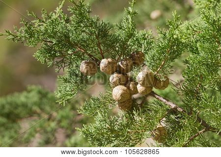 Cones on the branch of cypress in a cypress forest in the Mediterranean