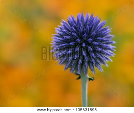 Purple Globe Thistle II